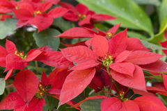 Weihnachtsblume oder Poinsettia im Garten, Blütenstaubfokus Stockfotos