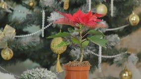 Weihnachtsblumen-Poinsettiadrehbeschleunigung Innen auf dem defocused Lichthintergrundspinnen stock video footage