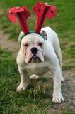 Weihnachtsbulldogge. Lizenzfreies Stockfoto