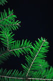 Weihnachtsdekoration, grüne Kiefer verzweigt sich auf schwarzen Hintergrund Grüner gezierter Zweig Grüne Kiefer, neues Jahr 2016, Lizenzfreies Stockfoto