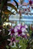 Weihnachtsdekorationen mit Orchideen in Singapur Lizenzfreies Stockbild
