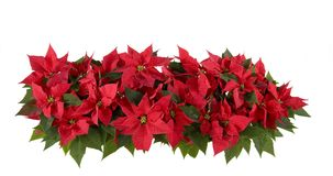 Weihnachtsdekorationen - rote Poinsettia Stockbilder