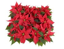 Weihnachtsdekorationen - rote Poinsettia Stockfoto