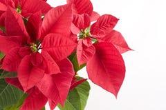 Weihnachtsfeier mit roter Poinsettia Stockfotografie
