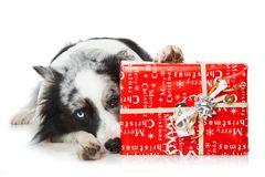 Border collie with christmas gift. Border collie with red christmas gift on white background looking to the camera stock images