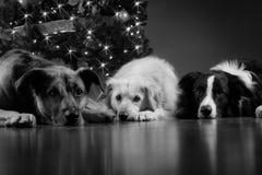 Weihnachtshunde Stockbild