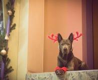 Weihnachtshunderotwild, die zu uns liying und aufgepasst worden sein würden Lizenzfreies Stockbild