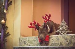 Weihnachtshunderotwild, die zu uns liying und aufgepasst worden sein würden Stockfoto