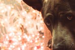 Weihnachtshunderotwild, die zu uns liying und aufgepasst worden sein würden Stockfotografie
