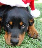 Weihnachtshut rottweiler stockfoto