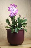 Weihnachtskaktus -. Schlumbergera - nice flower in white and violett Stock Photos
