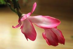 Weihnachtskaktuss-Blumennahaufnahme Lizenzfreie Stockbilder