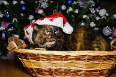 Weihnachtskalikokatze mit Sankt-Hut Stockfotografie