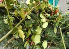 Weihnachtskiefernstechpalmen-Beerenniederlassung Stockfotografie