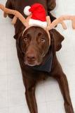 Weihnachtslabrador-Rotwild Stockfotos