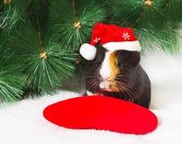 Weihnachtsmeerschweinchen lizenzfreies stockbild