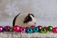 Weihnachtsmeerschweinchen Stockfoto