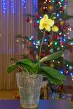 Weihnachtsorchidee Lizenzfreies Stockbild