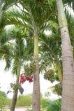 Weihnachtspalme oder Manila-Palme Lizenzfreie Stockfotos