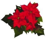 Weihnachtspoinsettia Stockfotos