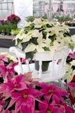 Weihnachtspoinsettia auf weißem Stuhl Lizenzfreie Stockfotos