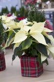 Weihnachtspoinsettia im Plaid-Behälter Stockfoto