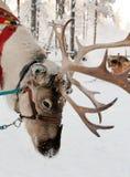 Weihnachtsren Lizenzfreies Stockbild