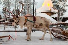 Weihnachtsren im Dorf von Santa Claus Stockbilder