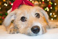 Weihnachtswelpe Lizenzfreie Stockfotografie