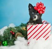 Weihnachtswelpe Stockfoto