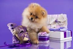 Weihnachtswelpe Pomeranian-Spitz lizenzfreie stockfotografie