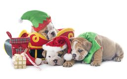 Weihnachtswelpen-Englischbulldogge Stockfotos