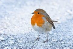 Weihnachtswinter Robin auf eisigem Snowy-Boden stockfoto