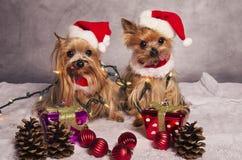 Weihnachtsyorkshire-Terrierhunde stockfoto