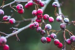 Weihnachtszeit und ein Raureif auf Winterbaum mit roten Beeren Lizenzfreies Stockbild