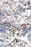 Weihnachtszweige Stockfoto