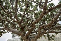 Weihrauch-Bäume, Boswellia Sacra, Weihrauchbaum lizenzfreie stockfotos