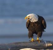 Weißkopfseeadler, der auf KlotzwarteLebensmittel in Homer, Alaska schreit Stockfotos