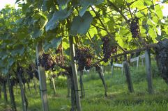 weil виноградника Германии rhein Стоковое Изображение