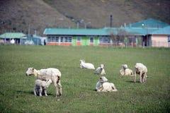 Weiland voor schapen in het dorp van Cameron Tierra del Fuego royalty-vrije stock afbeelding