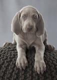 weimar σκυλί κουταβιών Στοκ φωτογραφία με δικαίωμα ελεύθερης χρήσης