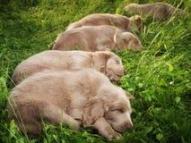 Weimar hound pupies Stock Photos