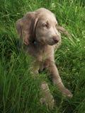 Weimar hound puppy Royalty Free Stock Image