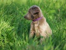 Weimar hound puppy Stock Image