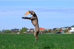 Weimar pointer plays and jumping in a field Stock Photos