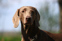 Weimar pointer Stock Photography