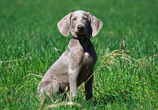 Weimar pointer.Puppy. Royalty Free Stock Photos