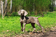 Weimar pointer.Puppy. Stock Photos