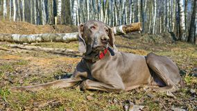 The Weimar pointer on a walk in the spring forest Stock Photos