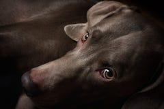 Weimaraner狗品种 库存照片